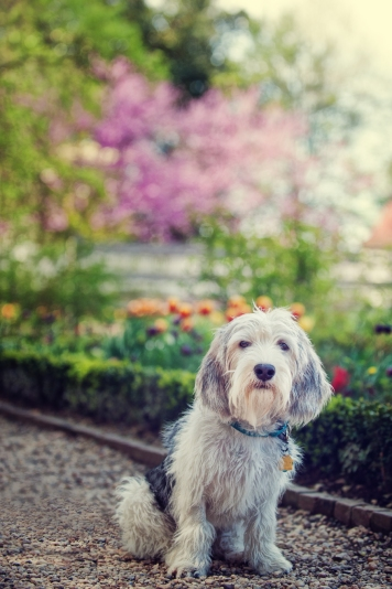 pbgv, pet photography workshops, pet photography, dog photography